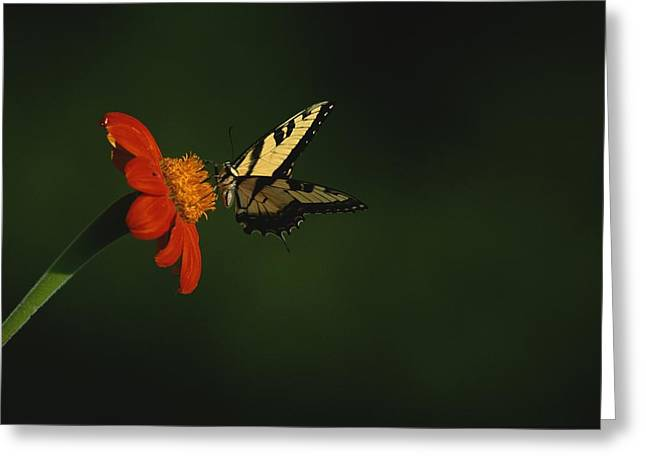 Garden Scene Photographs Greeting Cards - A swallowtail butterfly Greeting Card by Taylor S. Kennedy