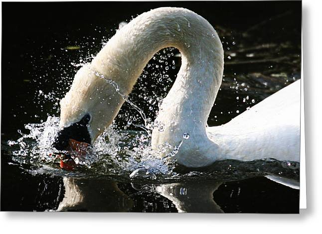Peverell Greeting Cards - A Swans Gaze. Greeting Card by Jaime Frederico Viegas