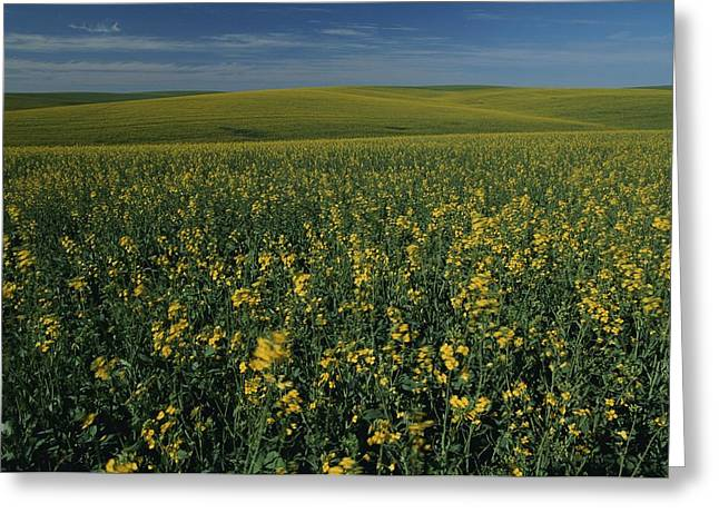 Food Industry And Production Greeting Cards - A Sweeping View Of Mustard Fields Greeting Card by Michael Melford