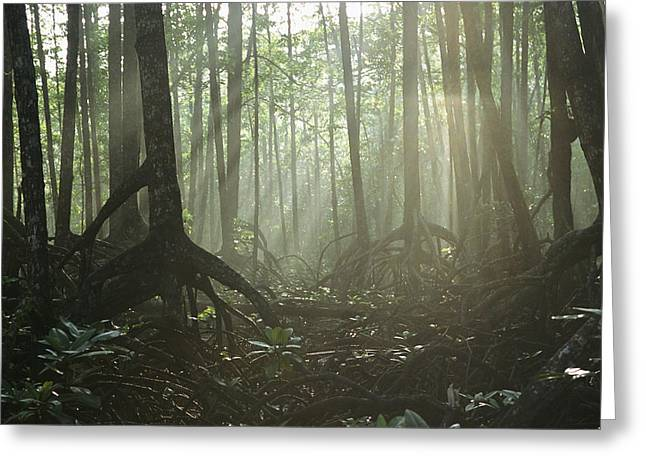 A Tangle Of Buttressed Roots In A Misty Greeting Card by Tim Laman
