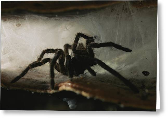 Brassey Greeting Cards - A Tarantula, Family Theraphosidae Greeting Card by Tim Laman