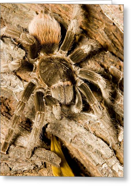 Mangrove Forests Greeting Cards - A Tarantula Living In Mangrove Forest Greeting Card by Tim Laman