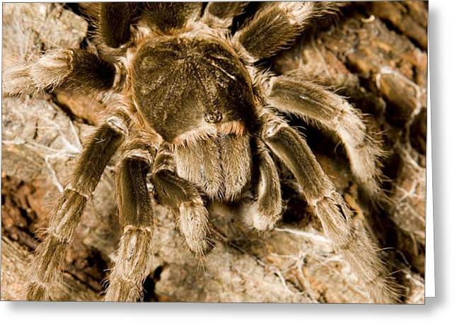 A Tarantula Living In Mangrove Forest Greeting Card by Tim Laman