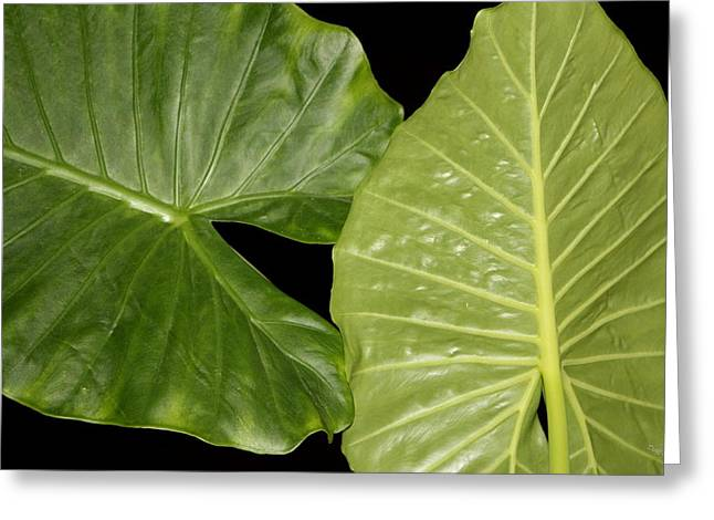 Elephant Ear Plant Greeting Cards - A Taste or A Kiss Greeting Card by Deborah  Crew-Johnson