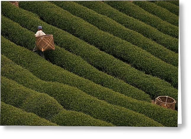 A Tea Harvester Walks Between Two Thick Greeting Card by George F. Mobley
