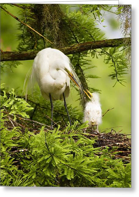 Bird Rookery Swamp Greeting Cards - A Tender Moment - Great Egret and Chick Greeting Card by Bill Swindaman