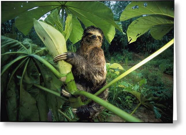 Sloth Greeting Cards - A Three-toed Sloth Feeds On The Leaves Greeting Card by Joel Sartore