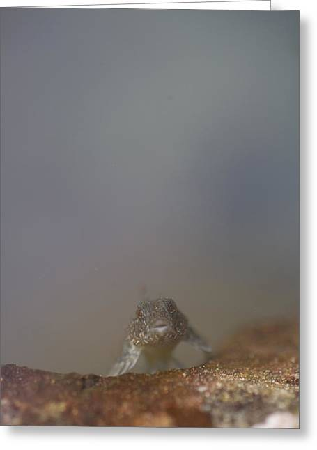 Port Renfrew Greeting Cards - A Tidepool Sculpin Looks At The Camera Greeting Card by Taylor S. Kennedy