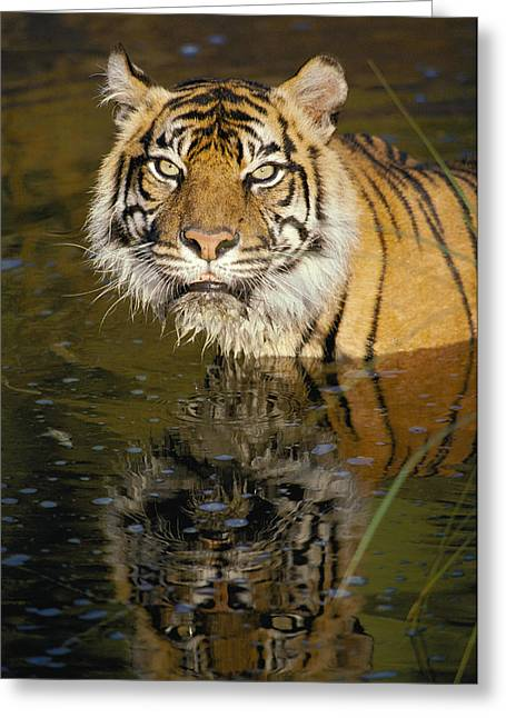 Wildcats Greeting Cards - A Tiger Glares Directly Into The Camera Greeting Card by Jason Edwards