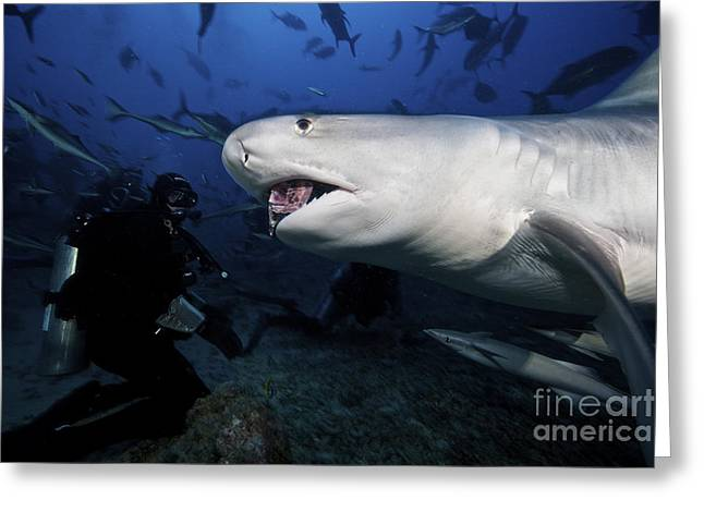 Undersea Photography Greeting Cards - A Tiger Shark Consumes A Large Tuna Greeting Card by Terry Moore