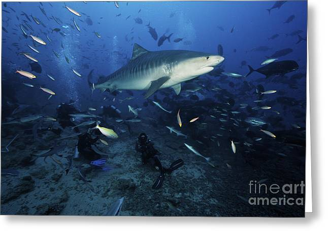 Undersea Photography Greeting Cards - A Tiger Shark Swims Over A Group Greeting Card by Terry Moore
