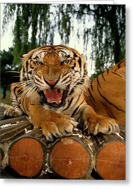 Anger And Hostility Greeting Cards - A Tiger Snarls At The The Camera Greeting Card by Paul Chesley