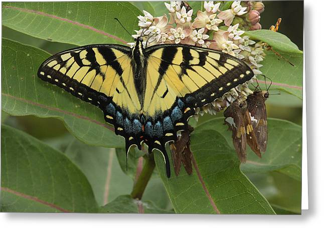 Frederick Greeting Cards - A Tiger Swallowtail Sips Milkweed Nectar Greeting Card by George Grall