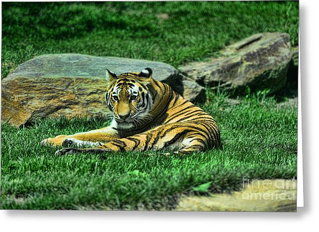 The Tiger Greeting Cards - A Tigers Gaze Greeting Card by Paul Ward
