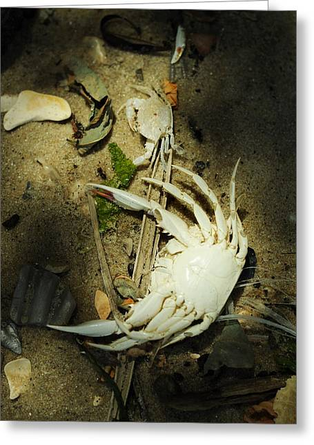 Callinectes Sapidus Greeting Cards - A Time to Shed Greeting Card by Rebecca Sherman