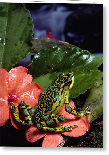 A Tiny Adult Painted Toad Atelopus Greeting Card by George Grall