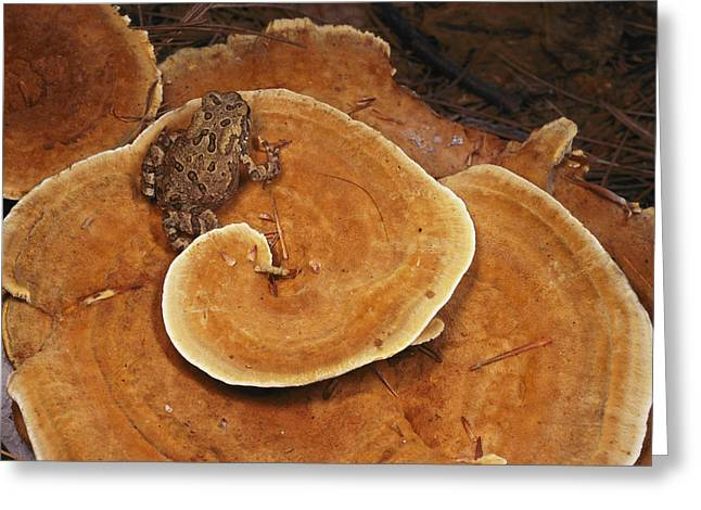 Concord Massachusetts Photographs Greeting Cards - A Toad Sits On A Wooly Velvet Polypore Greeting Card by Darlyne A. Murawski