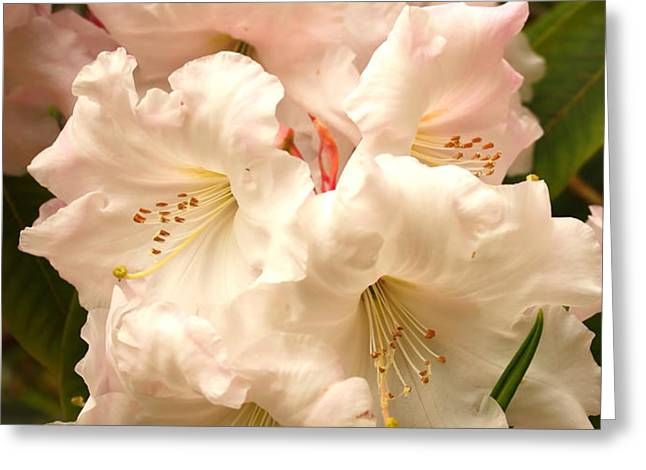 A Touch of Pink Greeting Card by Carol Groenen