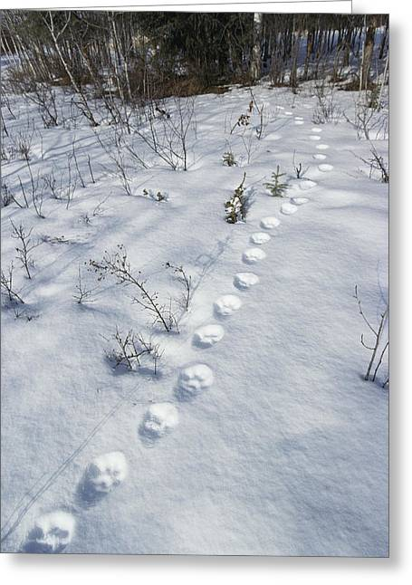 Canadian Lynx Greeting Cards - A Trail Of Lynx Tracks In The Snow Greeting Card by Paul Nicklen