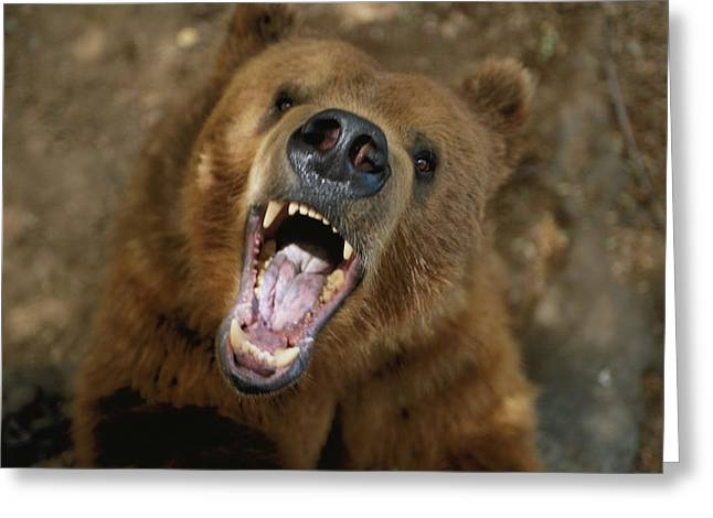 Ursus Middendorfii Greeting Cards - A Trained Kodiak Bear With Its Mouth Greeting Card by Joel Sartore