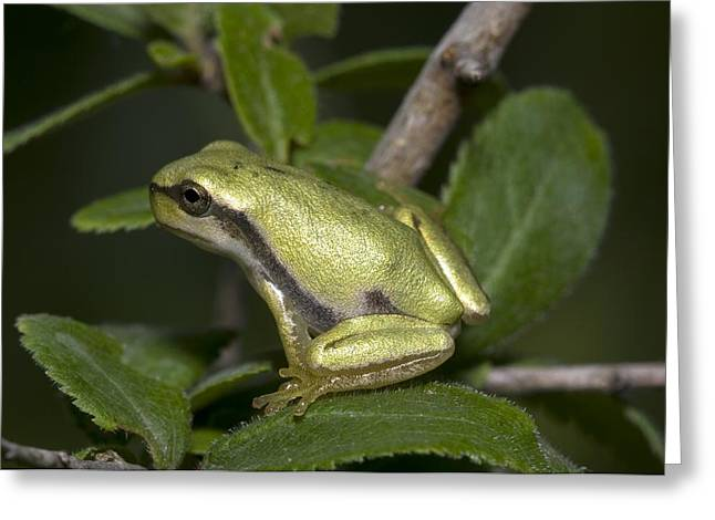 Tree Frog Greeting Cards - A Tree Frog Greeting Card by Paul Harcourt Davies