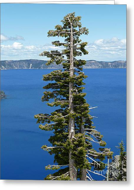 Pine Needles Greeting Cards - A Tree With A View Greeting Card by Methune Hively