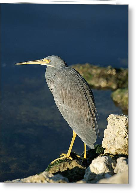 Egretta Tricolor Greeting Cards - A Tricolored Heron Perches On A Rock Greeting Card by Norbert Rosing