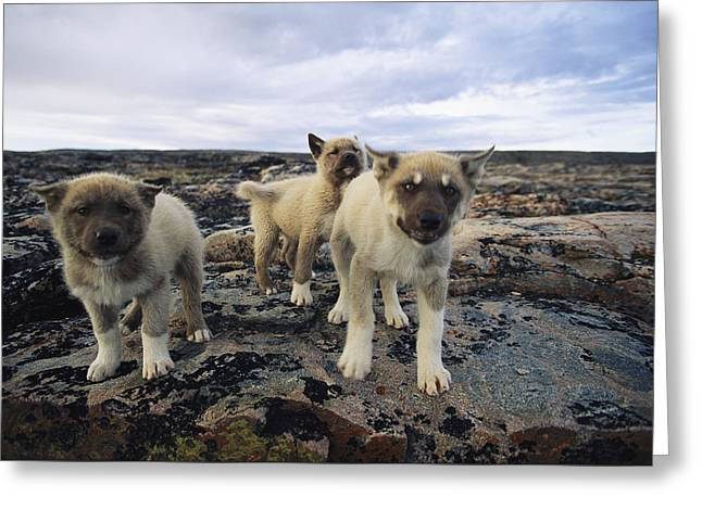 Hostility Greeting Cards - A Trio Of Growling Husky Puppies Greeting Card by Paul Nicklen