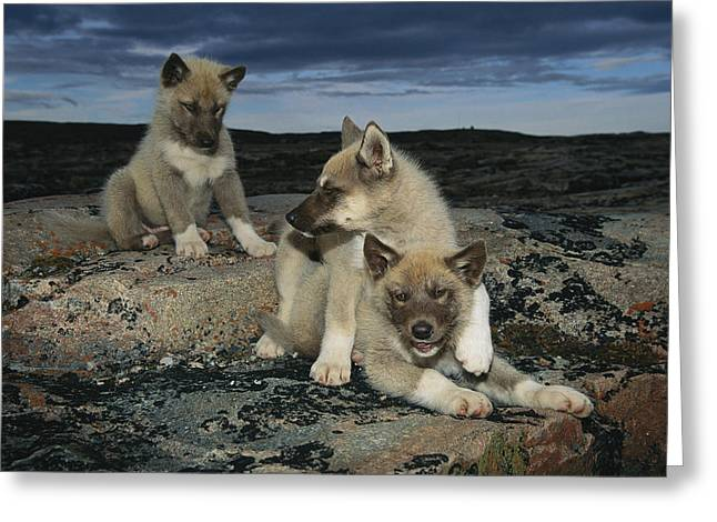 Husky Greeting Cards - A Trio Of Playful Husky Puppies Greeting Card by Paul Nicklen
