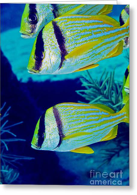 A Trio Of Porkfish, Key Largo, Florida Greeting Card by Terry Moore
