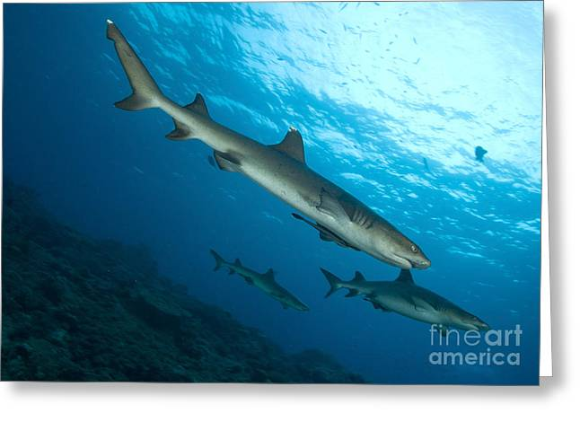 Kimbe Bay Greeting Cards - A Trio Of Whitetip Reef Sharks, Kimbe Greeting Card by Steve Jones
