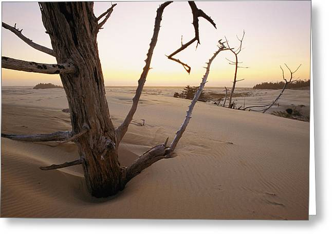 Oregon Dunes National Recreation Area Greeting Cards - A Twilight View Of Drift Wood Greeting Card by Phil Schermeister