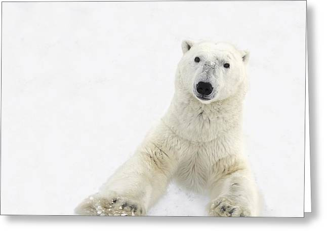 Dangerous In Winter Greeting Cards - A Very Curious Polar Bear Ursus Greeting Card by Richard Wear