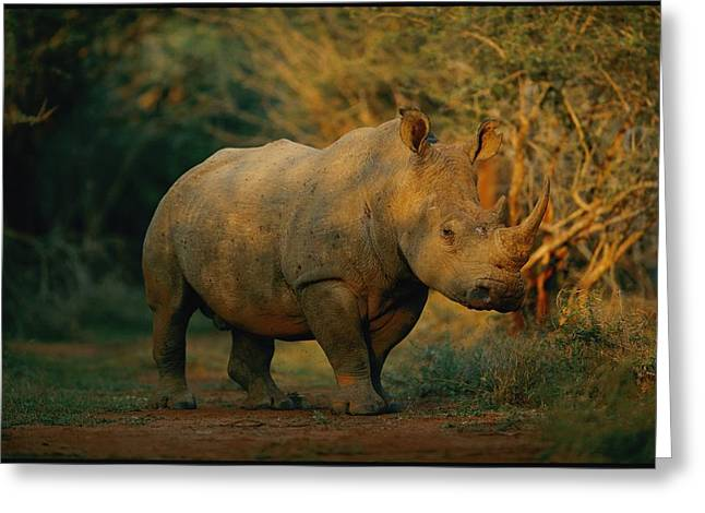 Rhinoceros Greeting Cards - A View Of A Rhinoceros Greeting Card by Chris Johns
