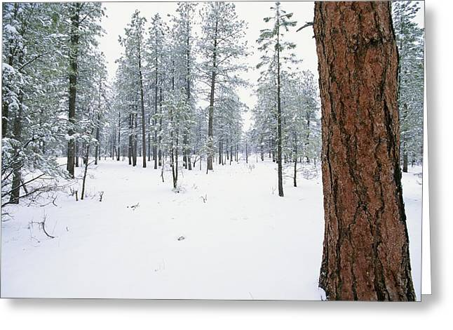 Forests And Forestry Greeting Cards - A View Of A Snow-covered Ponderosa Pine Greeting Card by Rich Reid