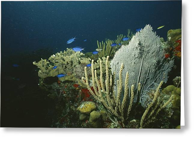 Culebra Greeting Cards - A View Of An Active Reef With Corals Greeting Card by Raul Touzon