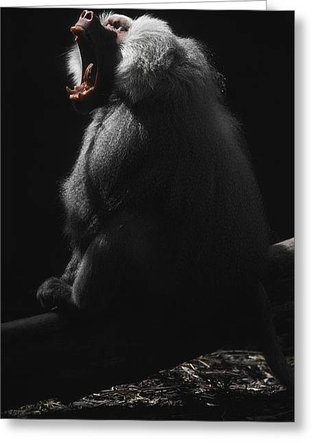 Emerge Greeting Cards - A Virile Male Sacred Baboon Roars Greeting Card by Jason Edwards