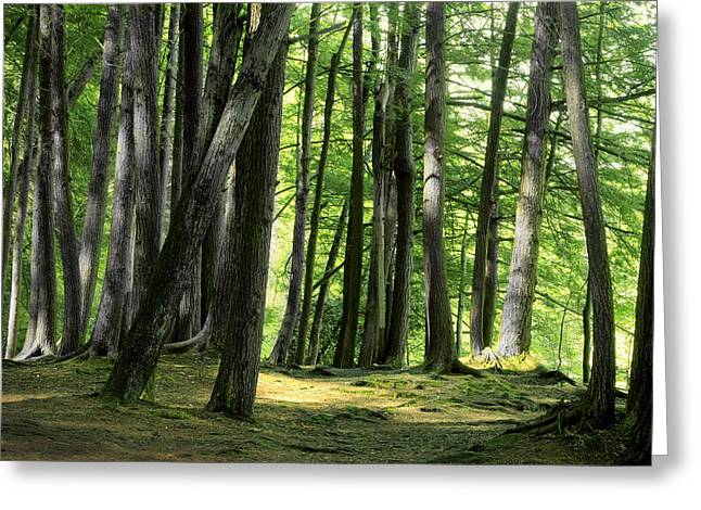 A Walk In The Forest Greeting Card by Mike Flynn