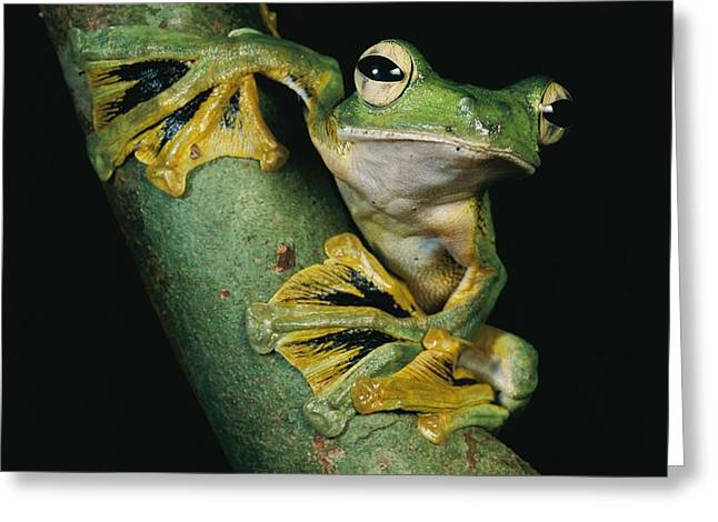 Recently Sold -  - Flying Frog Greeting Cards - A Wallaces Flying Frog, Rhacophorus Greeting Card by Tim Laman