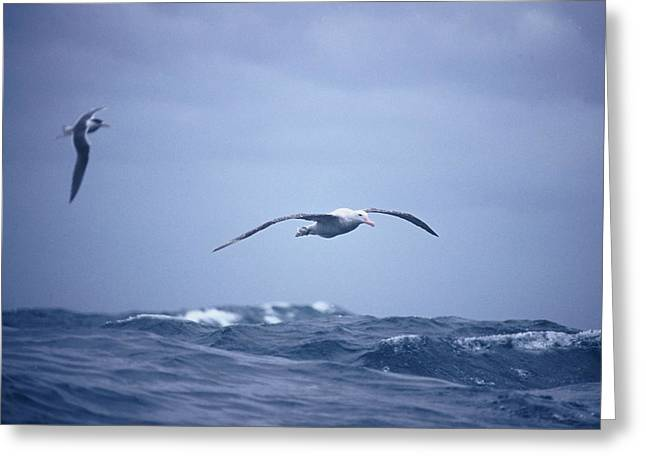 Wandering Greeting Cards - A Wandering Albatross Gliding In Flight Greeting Card by Jason Edwards