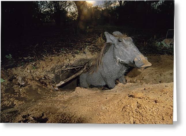 Remote Cameras Greeting Cards - A Warthog Emerges From One Of Many Greeting Card by Frans Lanting