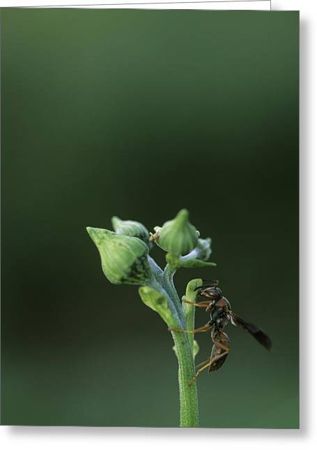Wasp Greeting Cards - A Wasp Clinging To A Plant Greeting Card by Taylor S. Kennedy