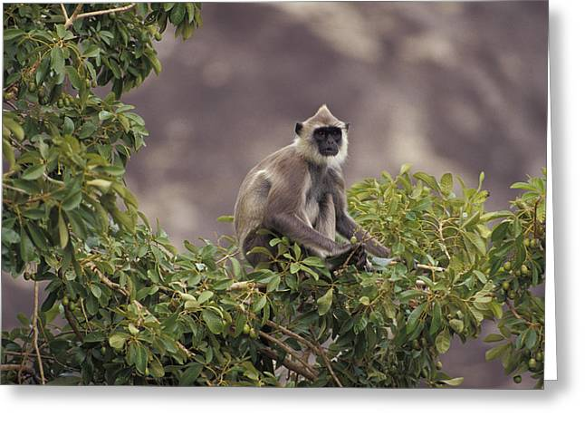 Watchful Greeting Cards - A Watchful Hanuman Monkey Perched Greeting Card by Jason Edwards