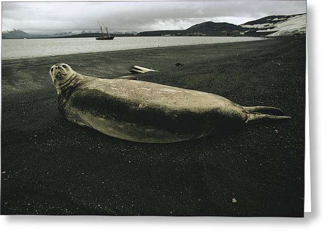 Deception Beach Greeting Cards - A Weddell Seal Resting On A Volcanic Greeting Card by Bill Curtsinger
