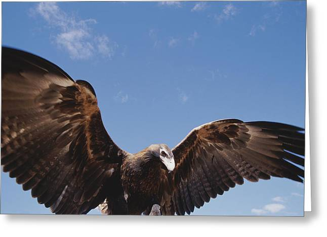 A Wedge-tailed Eagle With Wings Greeting Card by Jason Edwards