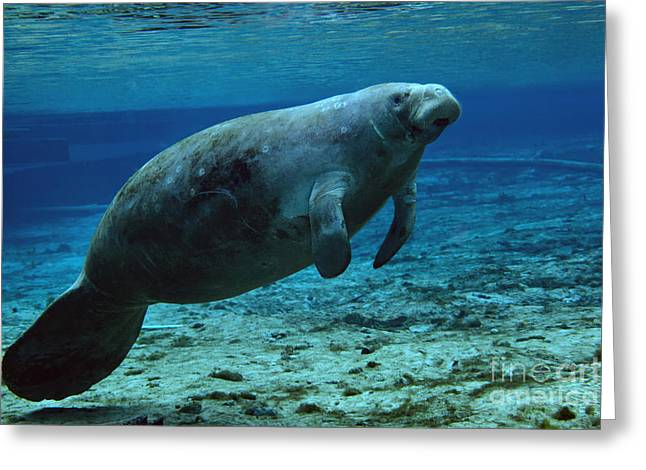 Manatee Springs Greeting Cards - A West Indian Manatee In The Shallow Greeting Card by Michael Wood