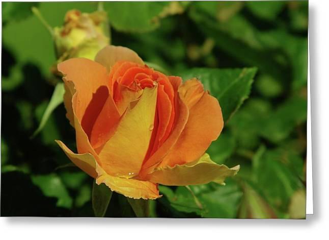 Wet Rose Greeting Cards - A Wet Rose  Greeting Card by Jeff  Swan