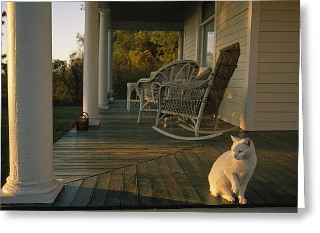 Historical Images Greeting Cards - A White Cat In Sunlight On A Columned Greeting Card by Joel Sartore