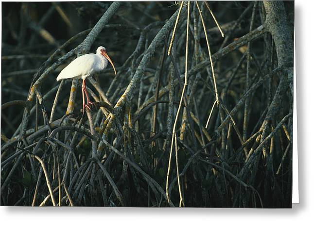 Tree Roots Greeting Cards - A White Ibis Perches On A Mangrove Tree Greeting Card by Klaus Nigge