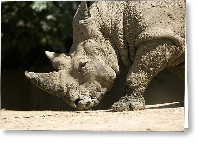 One Horned Rhino Greeting Cards - A White Rhino Sniffs The Dust Greeting Card by Joel Sartore